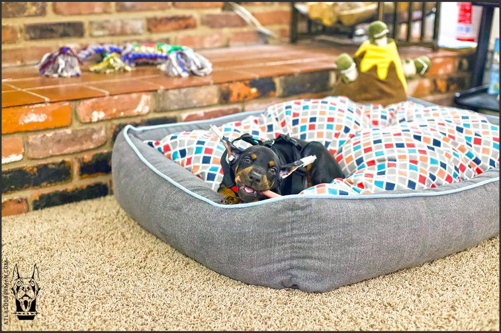 Atlas enjoying his new dog bed.