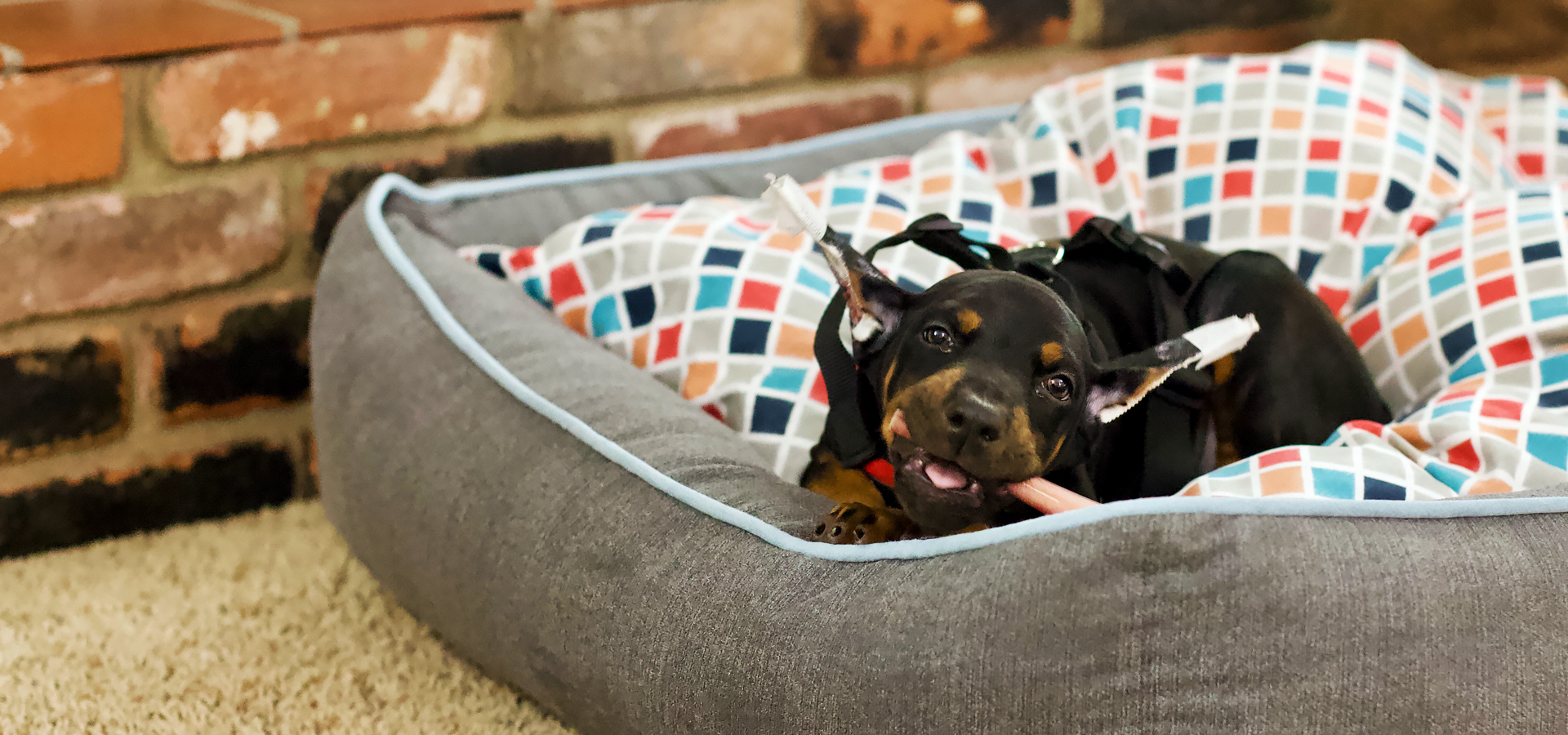Welcome to ATLAS' Den, a European Doberman blog.