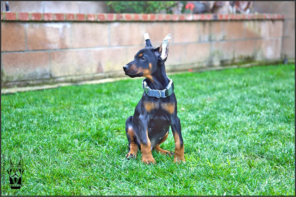 Male European Doberman at 10 weeks old.