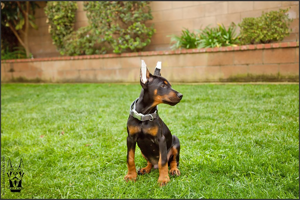Male European Doberman at 11 weeks old.