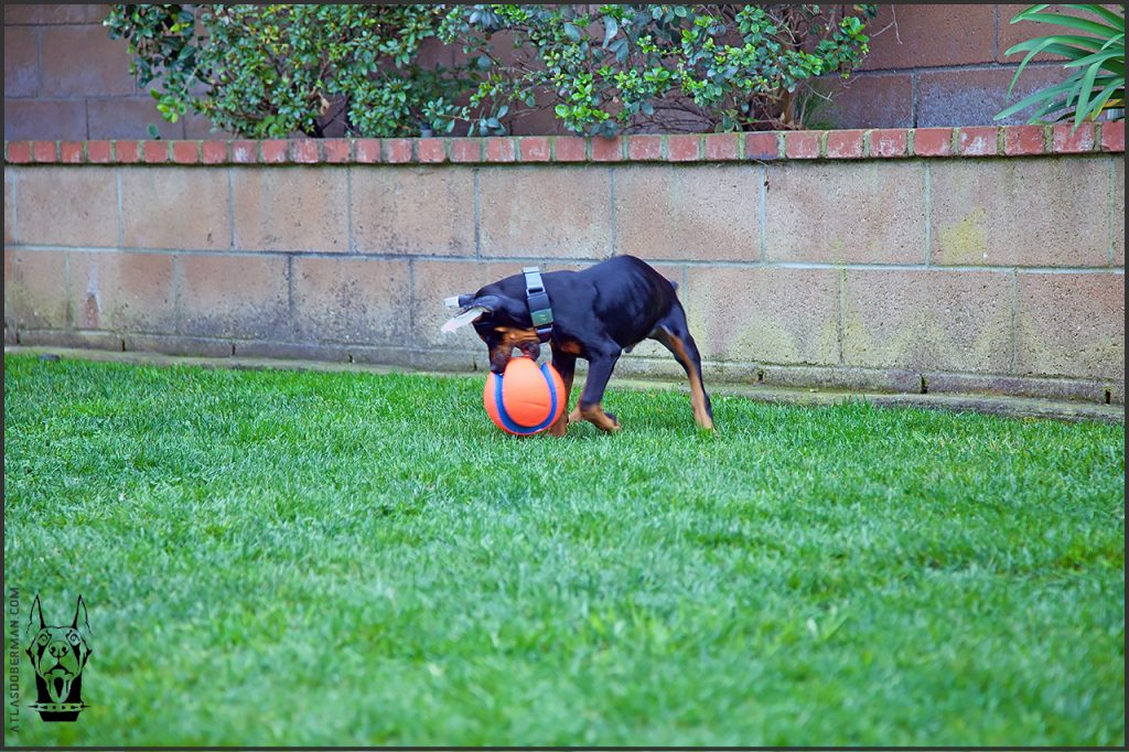 Life with a European Doberman; Atlas chasing after his small Chuckit! Kick Fetch Ball.
