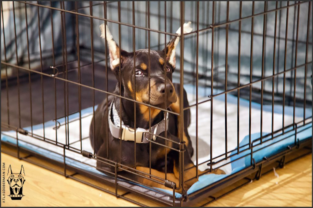 Buy a crate, skip the crate bed until the Doberman puppy is older. 4 month update.