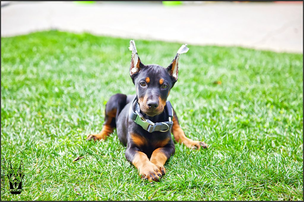 Life with a European Doberman; Atlas at 10 weeks old.