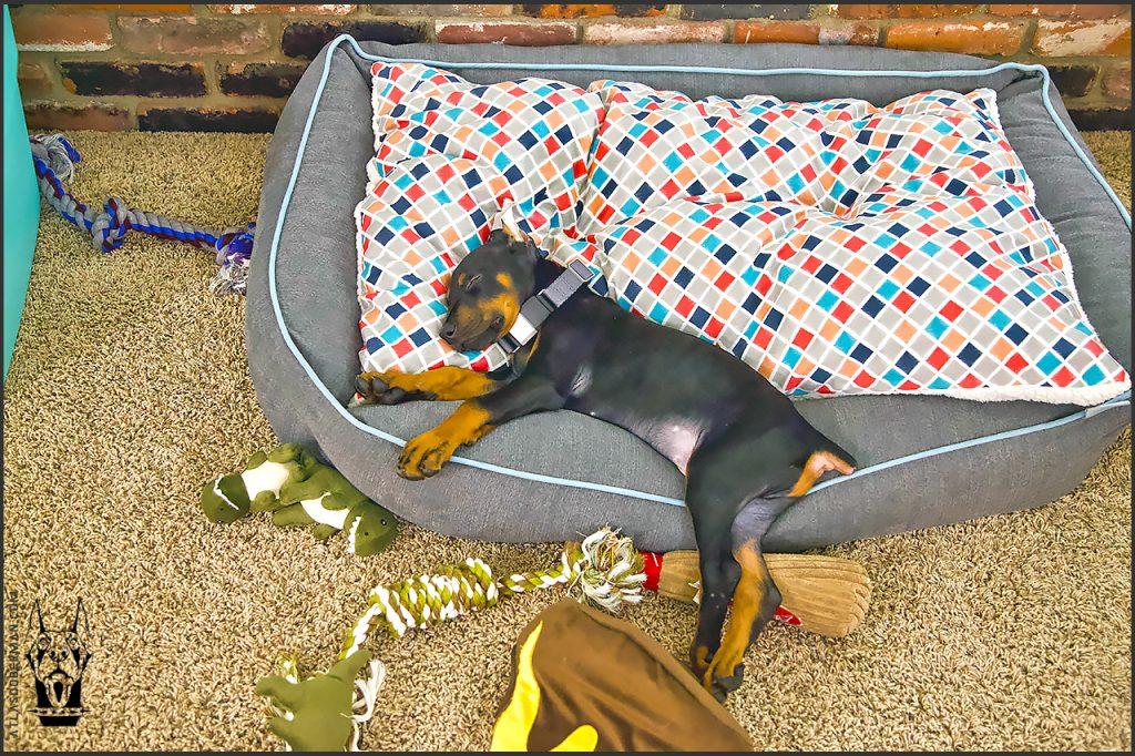 Life with a European Doberman; Atlas really enjoying his new dog bed.