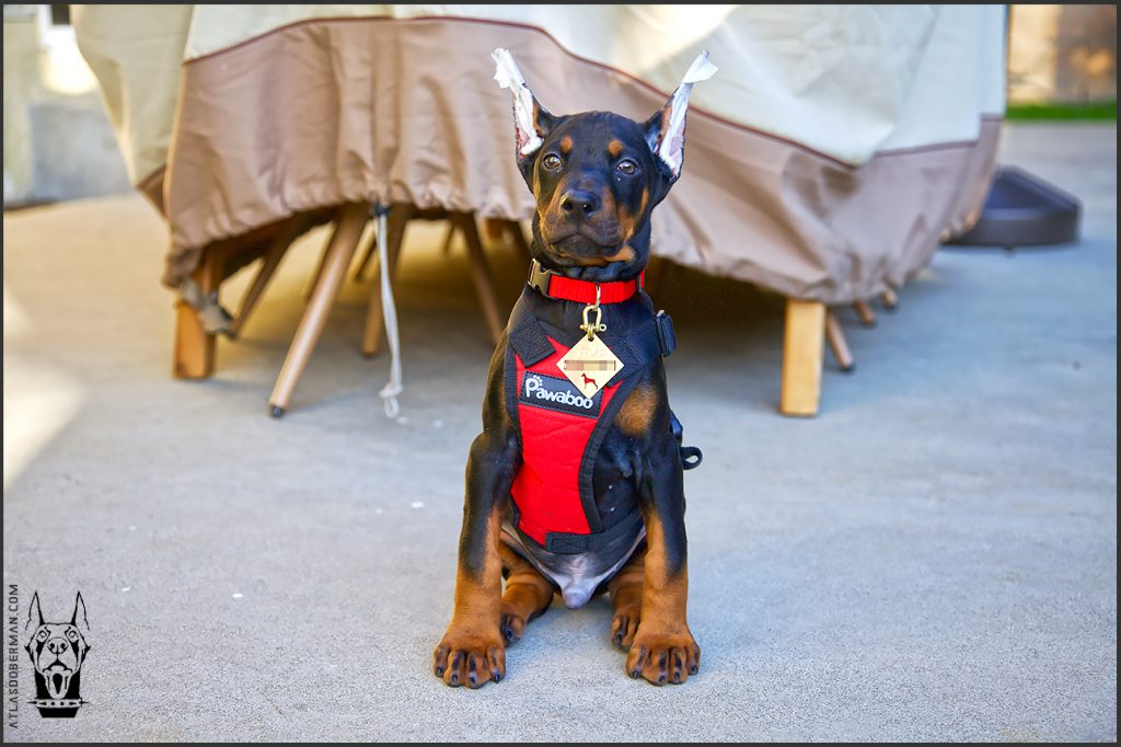 Male European Doberman at 9 weeks old.