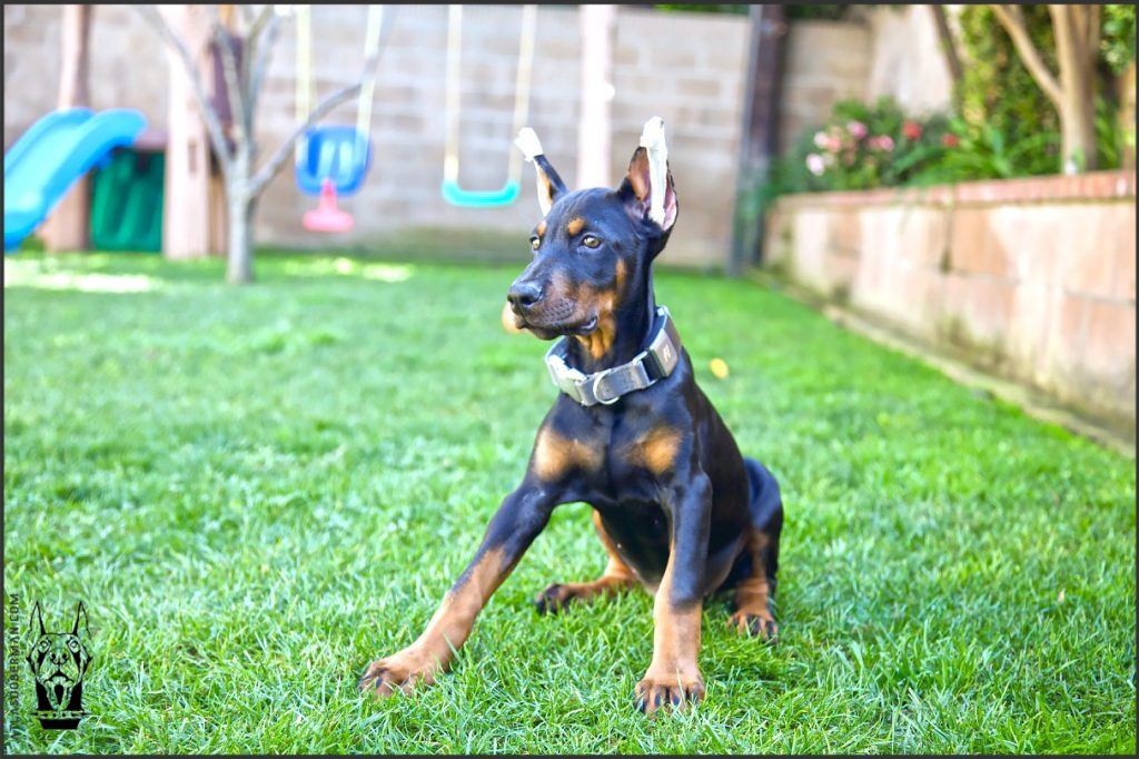 Male European Doberman at 12 weeks old.