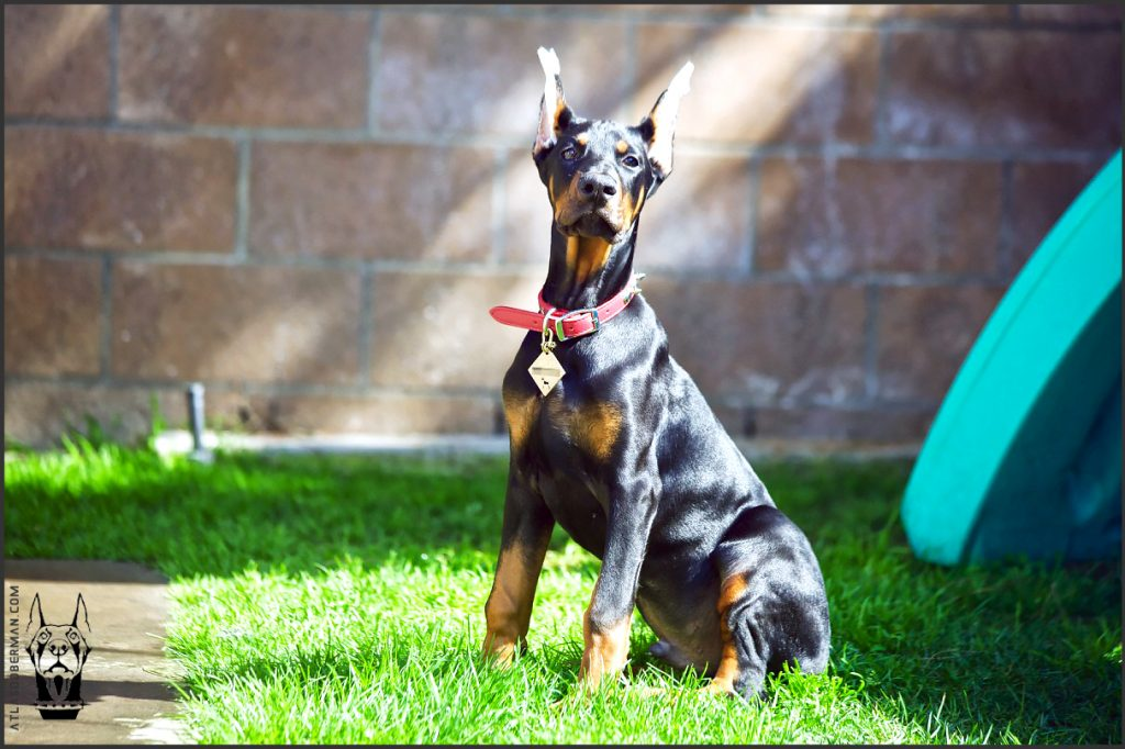 Male European Doberman at 15 weeks old.