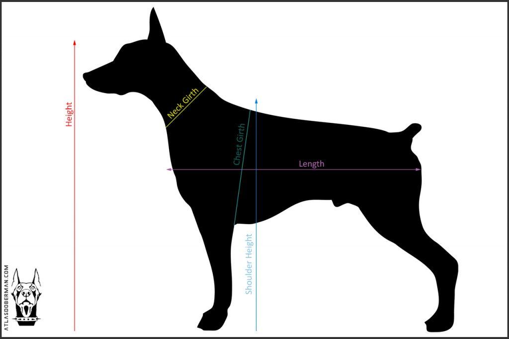European Doberman body measurement key.