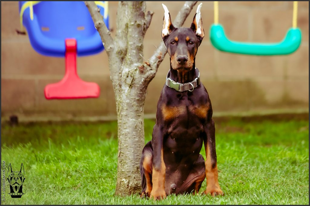 Male European Doberman at 16 weeks old.
