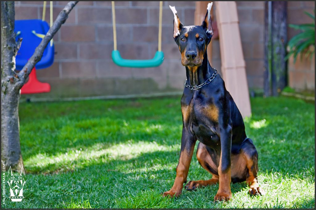 Male European Doberman at 17 weeks old.