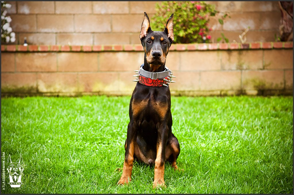 Male European Doberman at 18 weeks old.