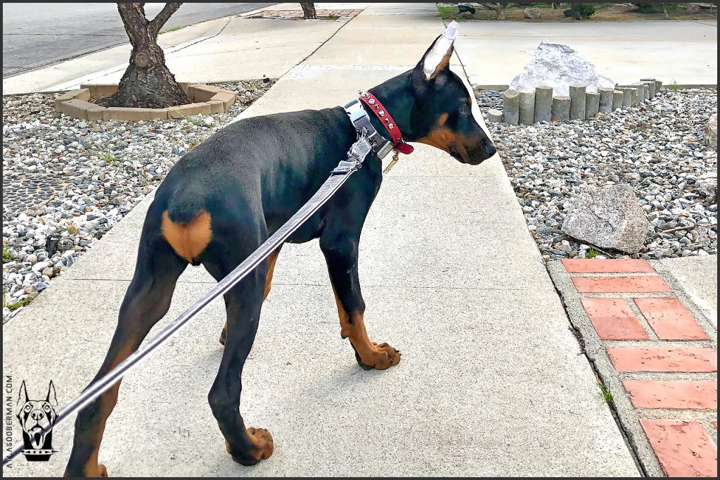 Taking Our Doberman Puppy Out on His First Walk
