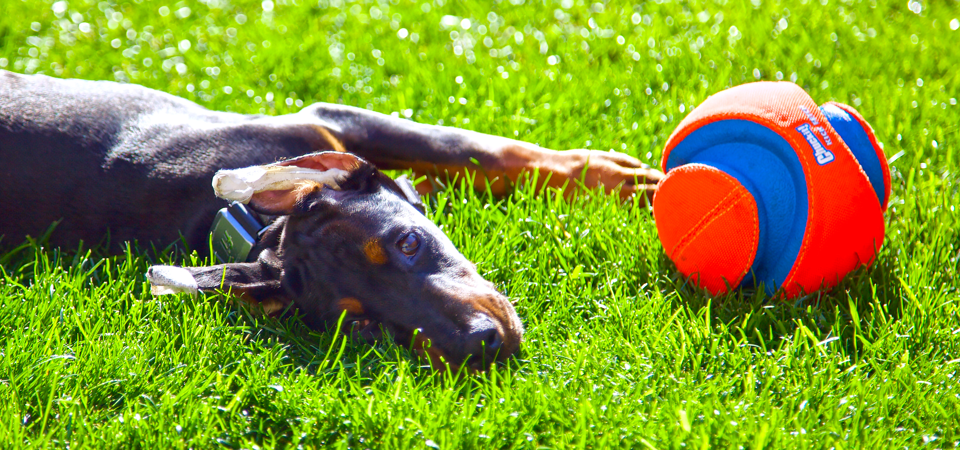 How we mentally stimulate our Doberman puppy.