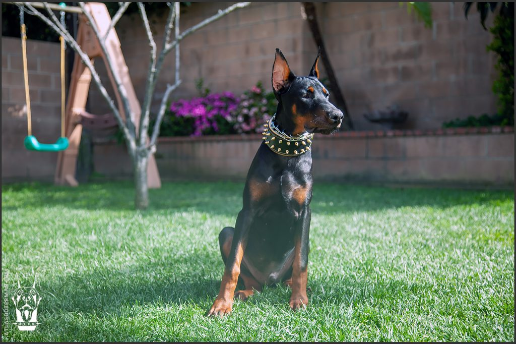 Male European Doberman at 20 weeks old.