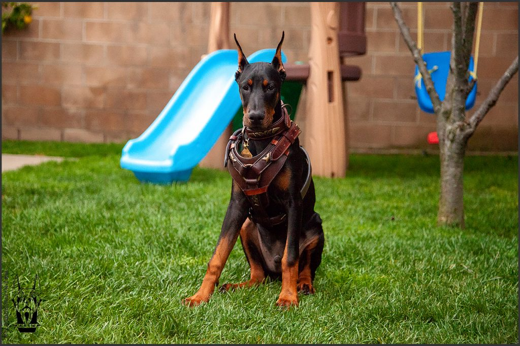 Male European Doberman at 21 weeks old.