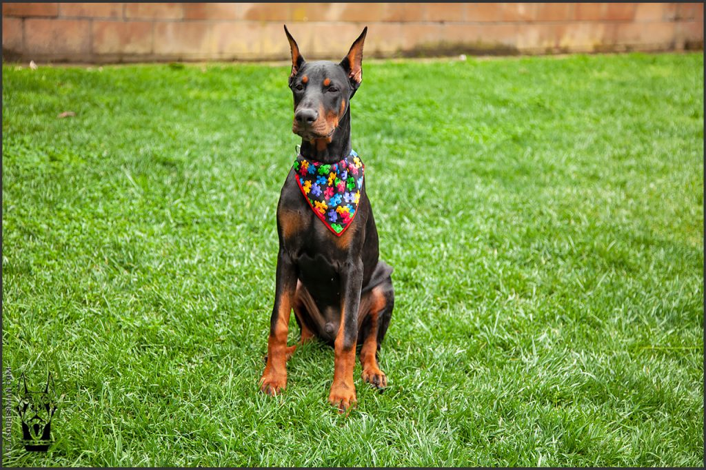Male European Doberman at 22 weeks old.