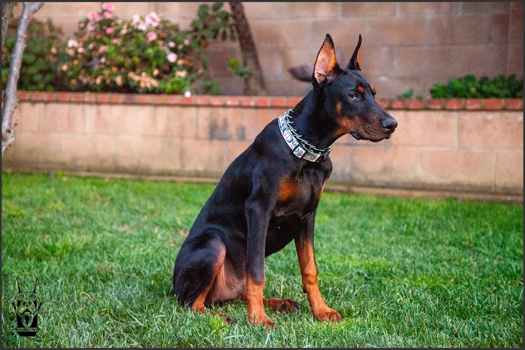 Male European Doberman at 23 weeks old.
