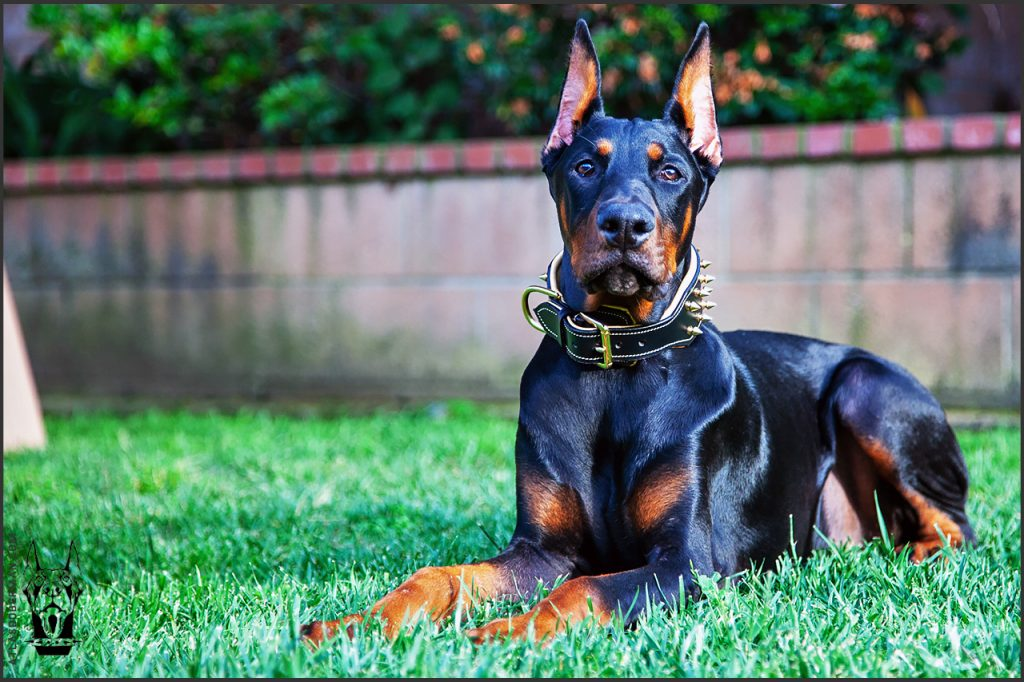 Male European Doberman at 24 weeks old.