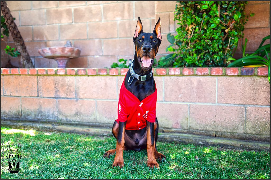 Male European Doberman at 26 weeks old.