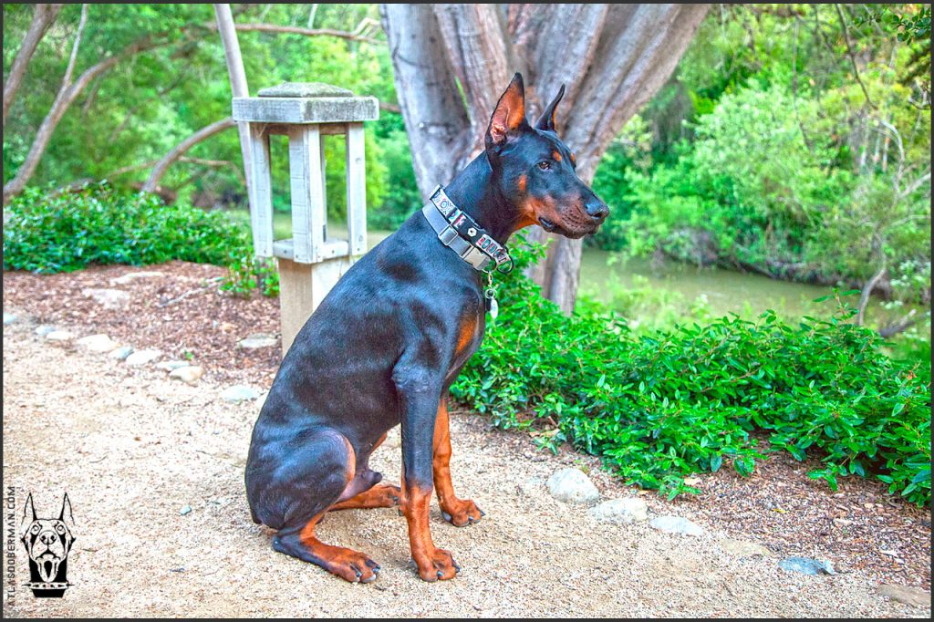Male European Doberman at 27 weeks old.