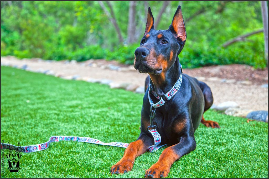 Male European Doberman at 28 weeks old.