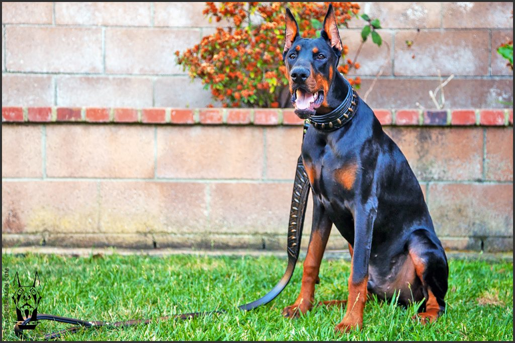 Male European Doberman at 29 weeks old.