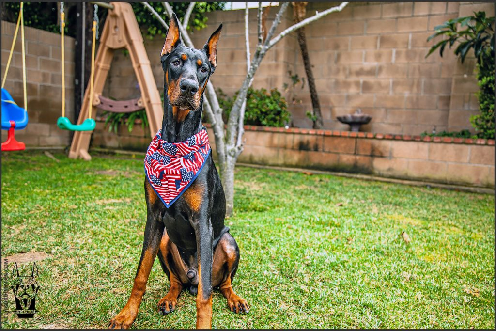 Male European Doberman at 32 weeks old.