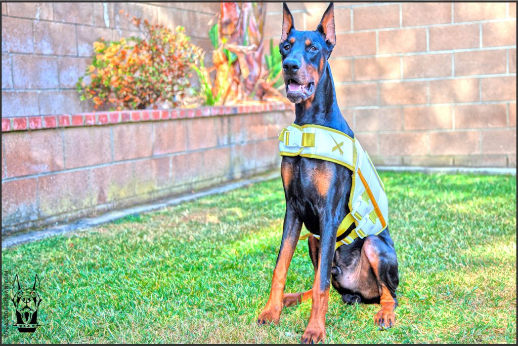 Male European Doberman at 34 weeks old.