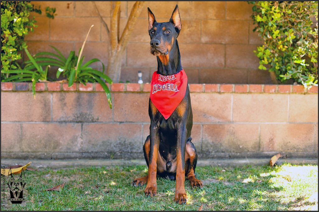 Male European Doberman at 35 weeks old.
