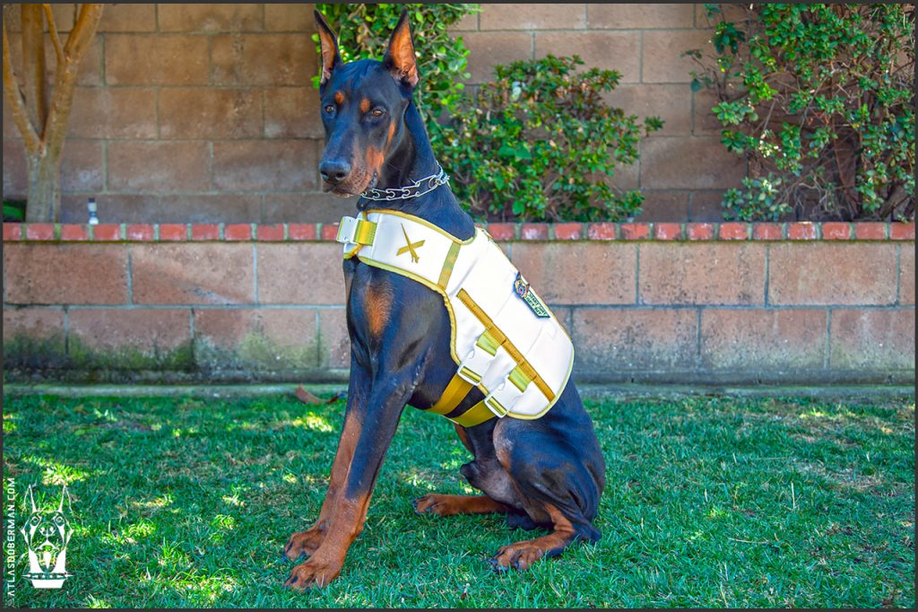 Male European Doberman at 36 weeks old.