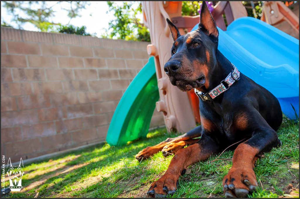 Male European Doberman at 40 weeks old.