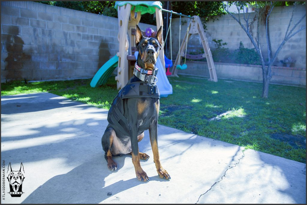 Doberman getting ready for his morning exercise, 2-mile walk.