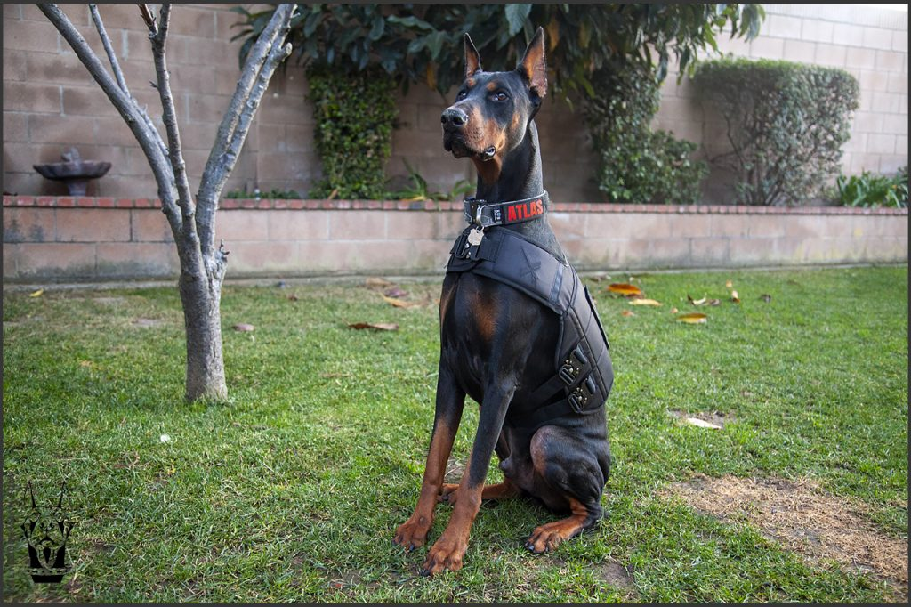 Doberman goes on walks with XDog weighted vest.